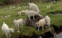 На дальневосточной выставке племенного животноводства тувинские козы признаны лучшими