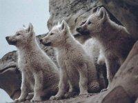 В Туве подняли цену за отстрел волчат
