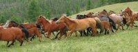 В Туве осуждены скотокрады, угнавшие 36 лошадей из Монголии