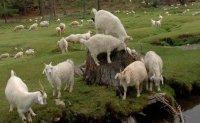 """Тувинских коз """"позолотили"""" на выставке в Чите"""
