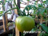В горной Монгун-Тайге (Тува) получают первый урожай помидоров