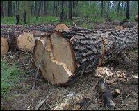 В Туве возбуждено девять уголовных дел по незаконной вырубке леса