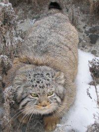 В Туве раненного ястребом кота-манула вылечили и выпустили на волю
