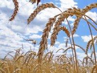 Средняя урожайность зерновых в Туве составила 10,1 ц/га