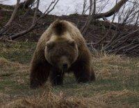 В столицу Тувы забрел голодный медведь