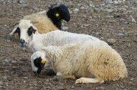 Тувинская порода овец зарегистрирована федеральной госкомиссией