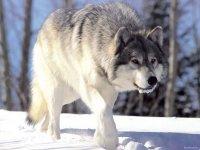 Тува объявила войну волкам