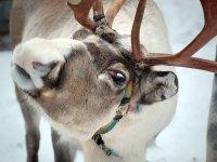 10 северных оленей из Тувы пополнили хакасский зоопарк