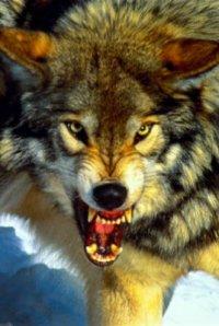 Тувинские охотники с начала года добыли более 230 волков