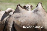 Кызылский район Тувы планирует разводить верблюдов
