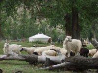 В Туве зарегистрировано 42 животновода-«тысячника»