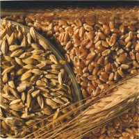 """В Туве в этом году урожай местной пшеницы """"Чагытай"""" собирают на 4-х участках"""