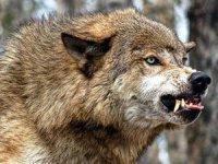 В Туве на чабанскую стоянку напали волки