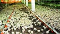 Тувинская птицефабрика в 2012 году планирует произвести 700 тонн мяса птицы и получить более 6 млн яиц