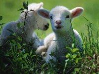 В Туве по итогам окотной кампании стадо приросло почти полмиллионом ягнят и козлят