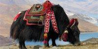 В Тибете создается музей яков