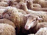 Поголовье овец и коз в 2011 году в России увеличилось на 5,1%