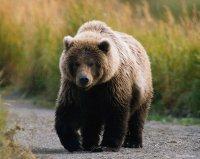 """Медвежья """"стая"""" движется из Тувы - в направлении юга Кузбасса"""