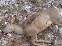 В Туве за охоту на косуль в заказнике осужден браконьер