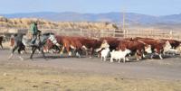 В Туве к программе развития мясного скотоводства подключаются крупные хозяйства