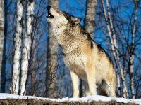 В Туве охотники в 2012 году уничтожили 581 волка