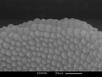 Клетки мутанта fip 1 принесли победу тувинской ученой во Всероссийском конкурсе научной фотографии