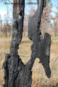 В Туве восстанавливают реликтовый сосновый бор