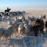 170 голов скота пало в Туве в ходе 3-дневной непогоды и метелей