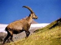 Браконьеры, охотившиеся на горных козлов, задержаны в Туве