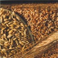 """Пшеница """"Чагытай"""" и ячмень """"Арат"""" - для аграриев Тувы"""