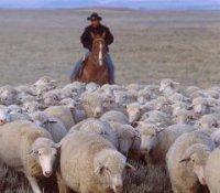 Животноводы Тувы получили более полумиллиона голов приплода МРС