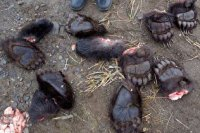 Браконьер пытался подкупить полицейских медвежьими лапами