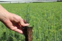 В Туве при поддержке Рослесхоза будет создан современный лесной питомник