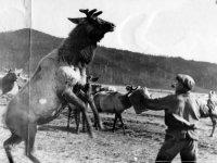 В Туве возродят пантовое мараловодство