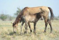 Табун угнанных лошадей обнаружили с воздуха