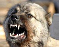 В Шамбалыге выявлен случай заболевания собаки бешенством