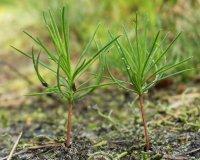 Балгазынский сосновый бор пополнился 660 тысячами сеянцев и саженцев сосны