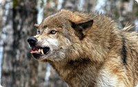 В Туве для борьбы с волками используют парапланы