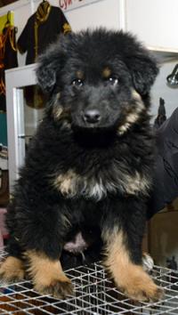 В Монгун-Тайгинском кожууне Тувы создан питомник по разведению тувинской сторожевой собаки