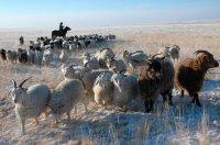 В Туве количество чабанов-тысячников увеличивается за счет молодых животноводов