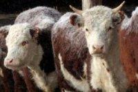Создание в районах Тувы модульных цехов по забою скота простимулируют господдержкой