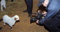 Животноводы Тувы уже получили в ходе начавшей окотной кампании более 60 тысяч ягнят