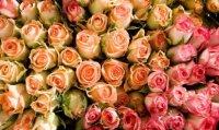 В Туву на розах и хризантемах из Голландии и Эквадора завезен цветочный трипс
