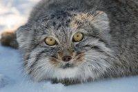 РГО выступает за сохранение кота манула