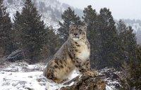 В природном парке «Тыва» постоянно обитают снежные барсы