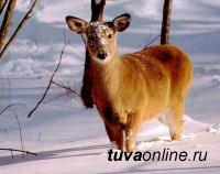 Специалисты Госкомохоты Тувы выявили в ходе новогодних рейдов 33 нарушителя правил охоты