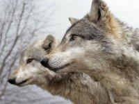 В Туве в новогодние праздники проведено 110 облав на волков