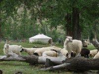 Тува поможет погорельцам Хакасии домашним скотом
