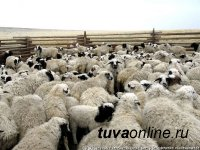 Из Тувы погорельцам Хакасии будет отправлено 500 голов овец-ярок