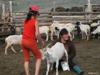 Тувинских овец и коз продемонстрируют на XII Сибирско-Дальневосточной выставке племенных животных